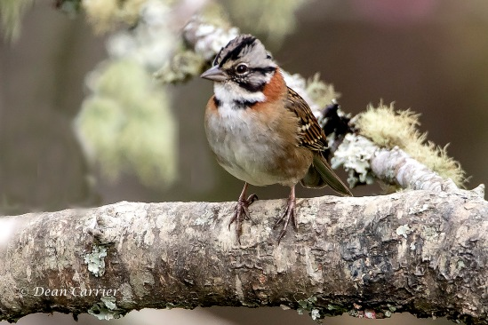 Chestnut-collared Sparrow 1