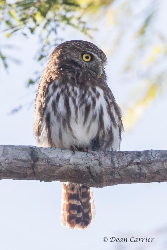 Ferruginous Owl 2