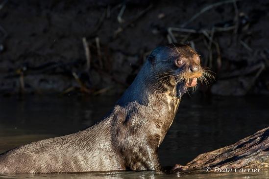 Giant Otter 6