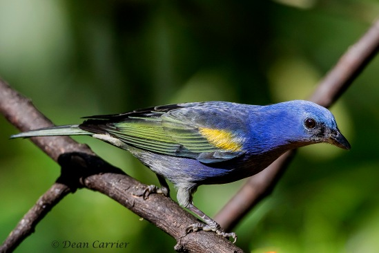 Golden-chevroned Tanager 3