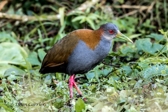 Gray-necked Woodrail 2