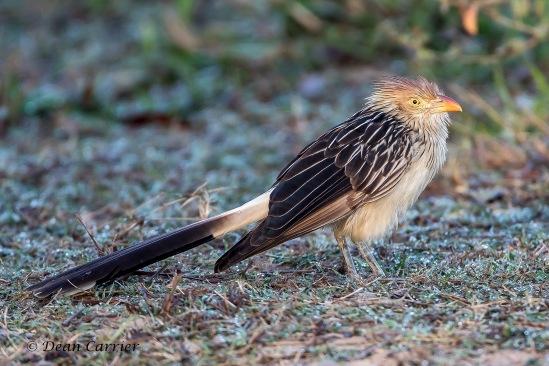 Guira Cuckoo 1