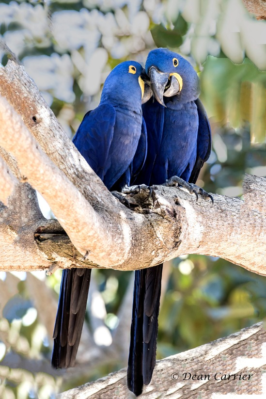 Hyacinth Macaw 6