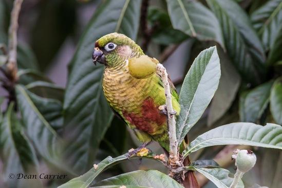 Maroon-bellied Parakeet 7
