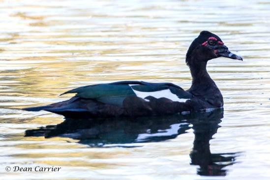 Muscovy Duck 1