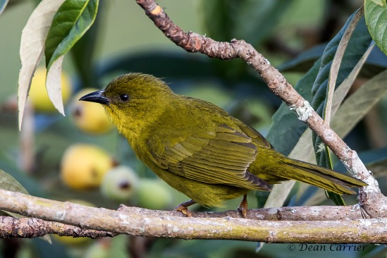 Olive-green Tanager 1