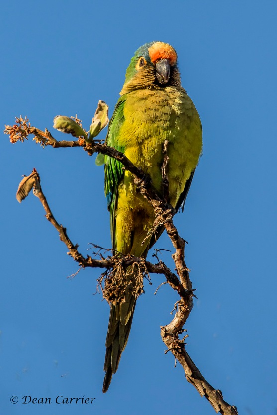 Peach-faced Parakeet 2