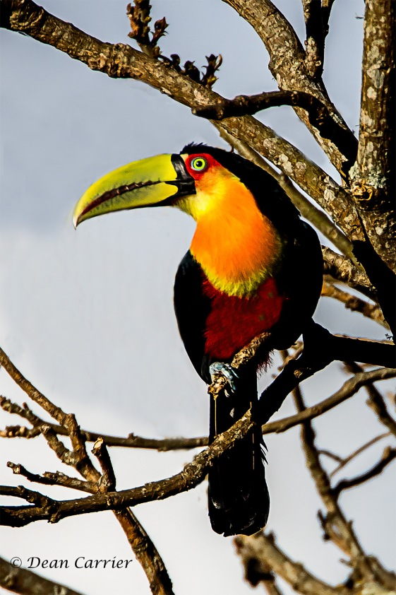 Red-beasted Toucan 4 copy