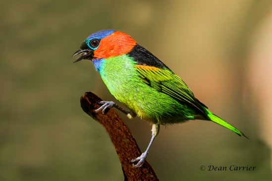 Red-necked Tanager 3