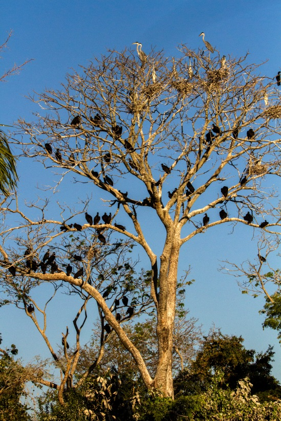 Roost Tree 1