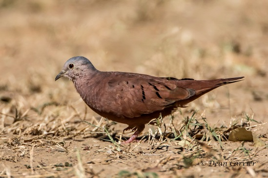 Ruddy Ground Dove 1