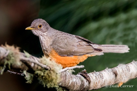 Rufous-bellied Thrush 2