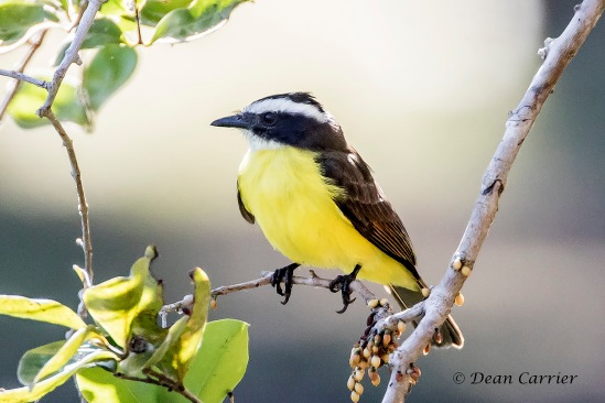 Rusty-margined Flycatcher 1