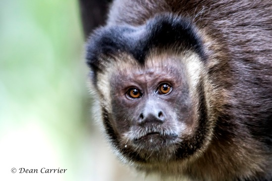 Tufted Capuchin 2