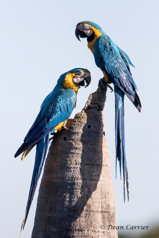 Yellow and Blue Macaws 4