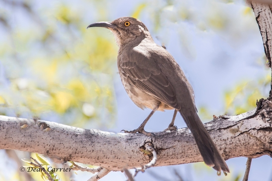 Curve-billed Thrasher 18