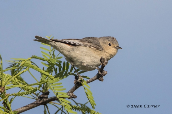 Lucy's Warbler 3