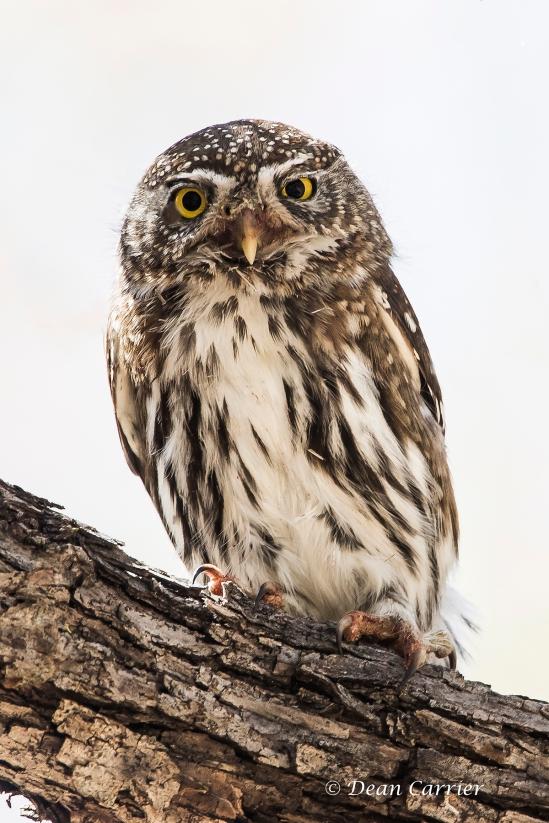 Pygmy Owl 17
