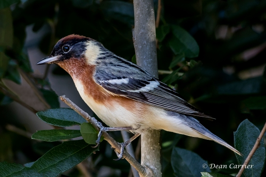 Bay-breasted Warbler 5