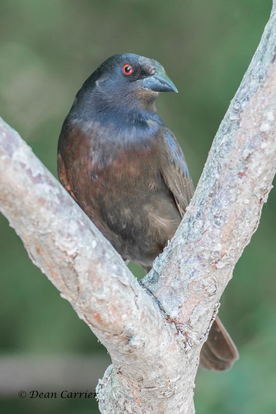 Bronzed Cowbird 3