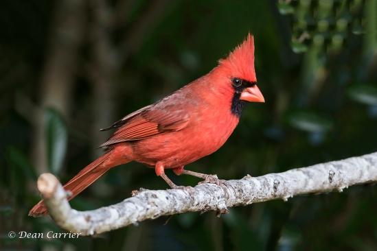 Cardinal 14