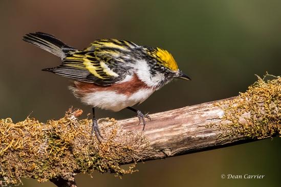 Chestnut-sided Warbler 1a