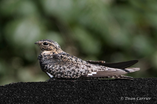 Common Nighthawk 3