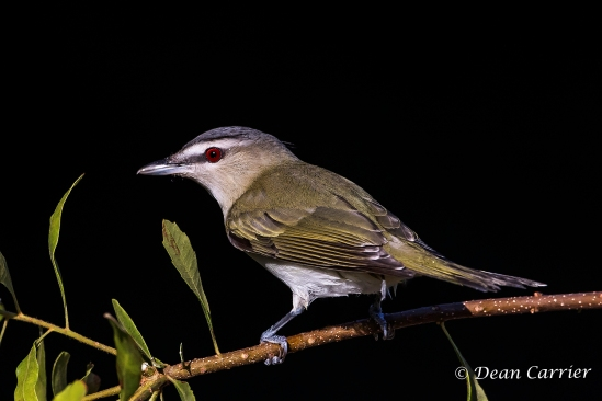 Red-eyed Vireo 3
