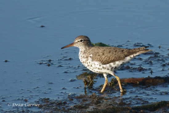 Spotted Sandpiper 5