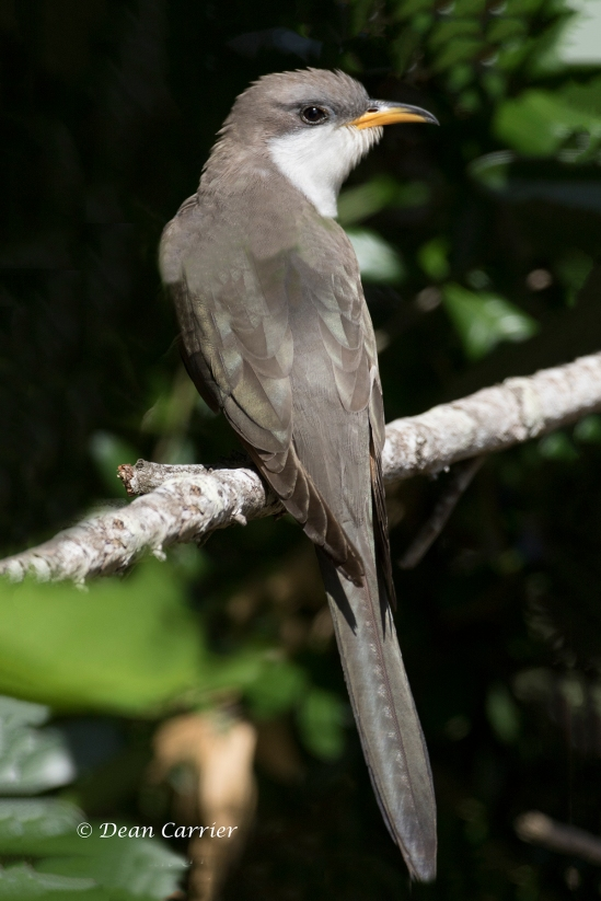 Yellow-billed Cuckoo 5