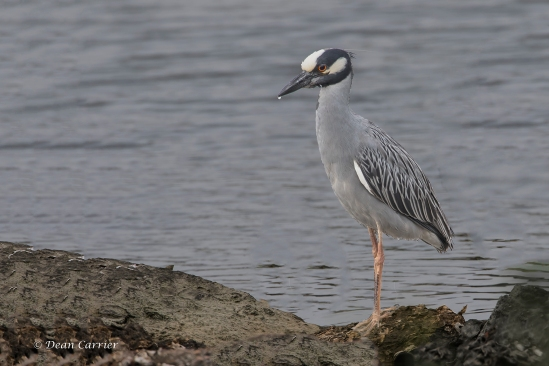 Yellow-crowned Night Heron 2