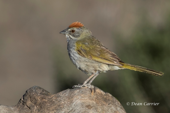 Green-tailed Towhee 9