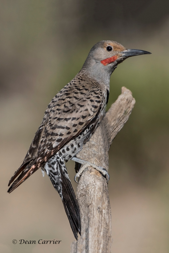 Northern Flicker 21