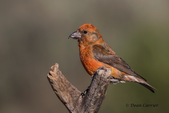Red Crossbill 16