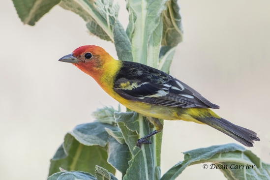 Western Tanager 3