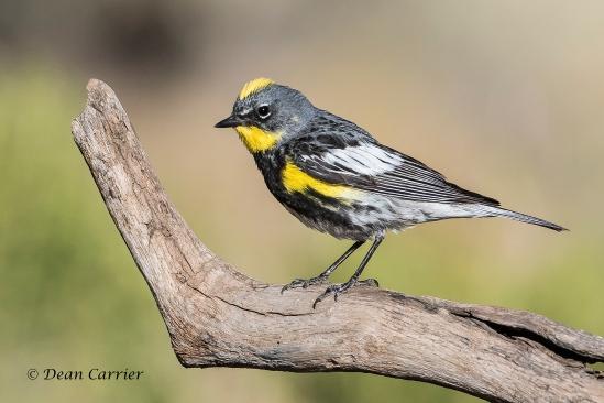 Yellow-rumped Warbler 14
