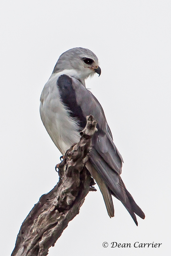 Black-shouldered Kite 1