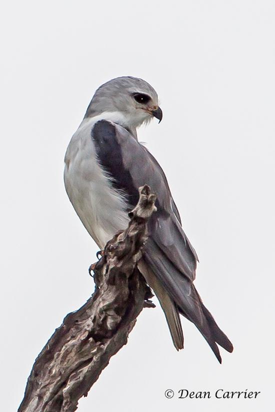 Black-shouldered Kite 1