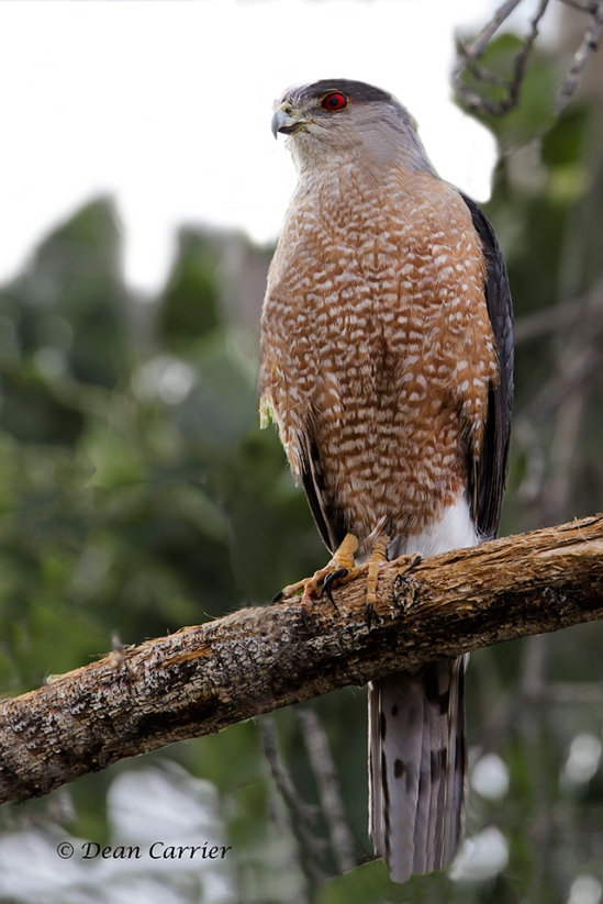 Cooper's Hawk 6