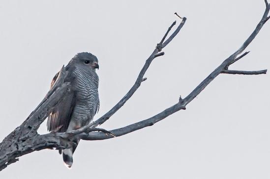 Gray Hawk 7