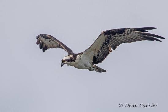 Osprey38