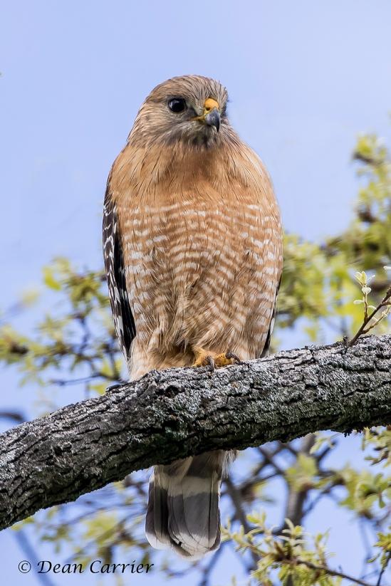 Red-shouldered Hawk 16