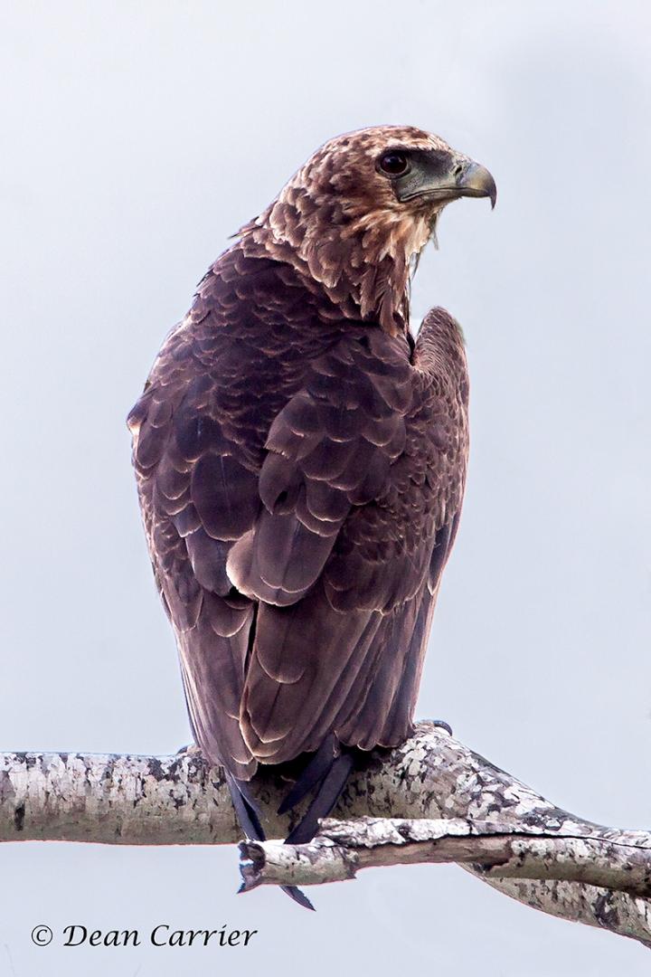 Brown snake eagle 1