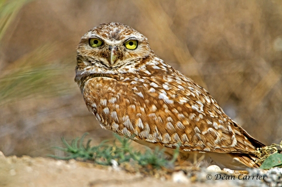 Burrowing owl 14