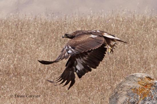 Golden Eagle, Clovis, CA