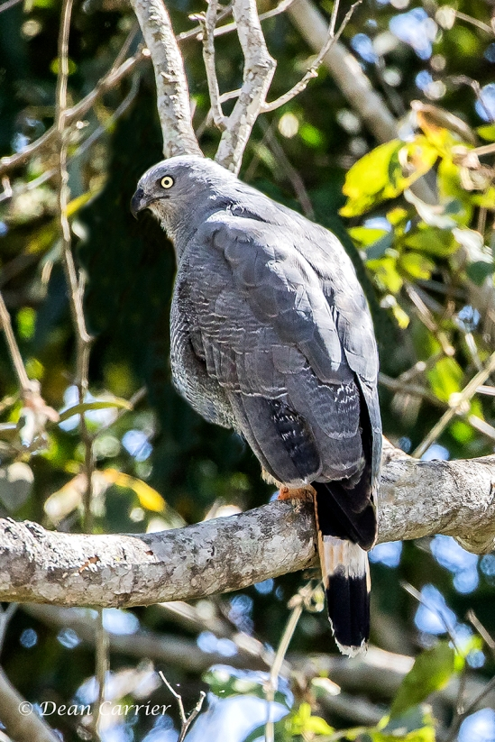 Gray Hawk 1