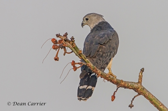 Gray-headed Kite 4