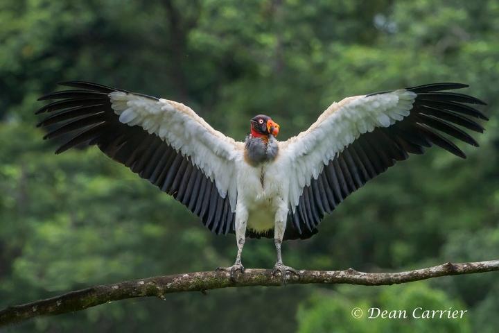 King Vulture 16