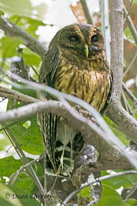 Mottled Owl 1