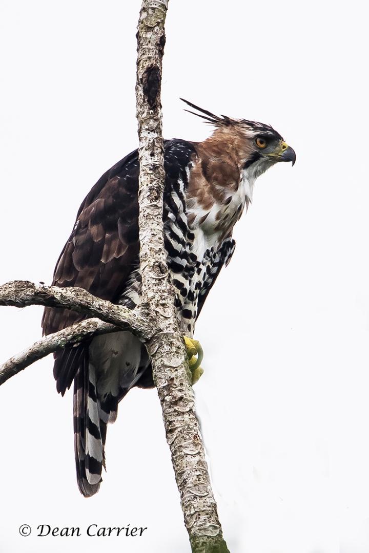 Ornate Hawk-Eagle 3